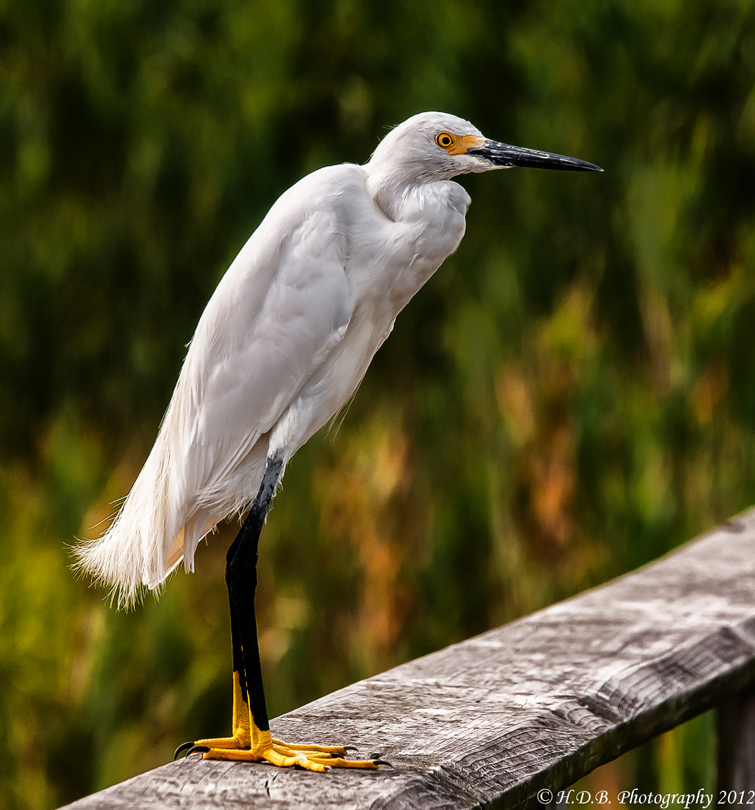 Photograph Snowy Egret by Harold Begun on 500px