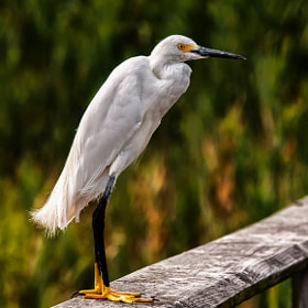 Snowy Egret by Harold Begun (HaroldBegun)) on 500px.com