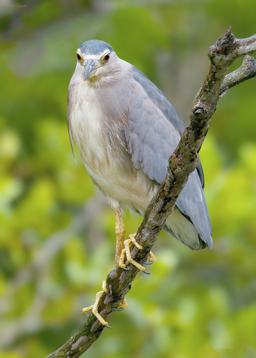 Photograph Black crowned Night Heron by Allan Seah on 500px