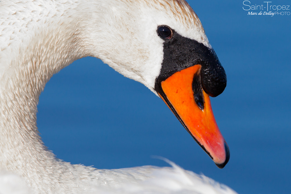 Photograph Cygne Swan Лебеди by Marc de Delley on 500px