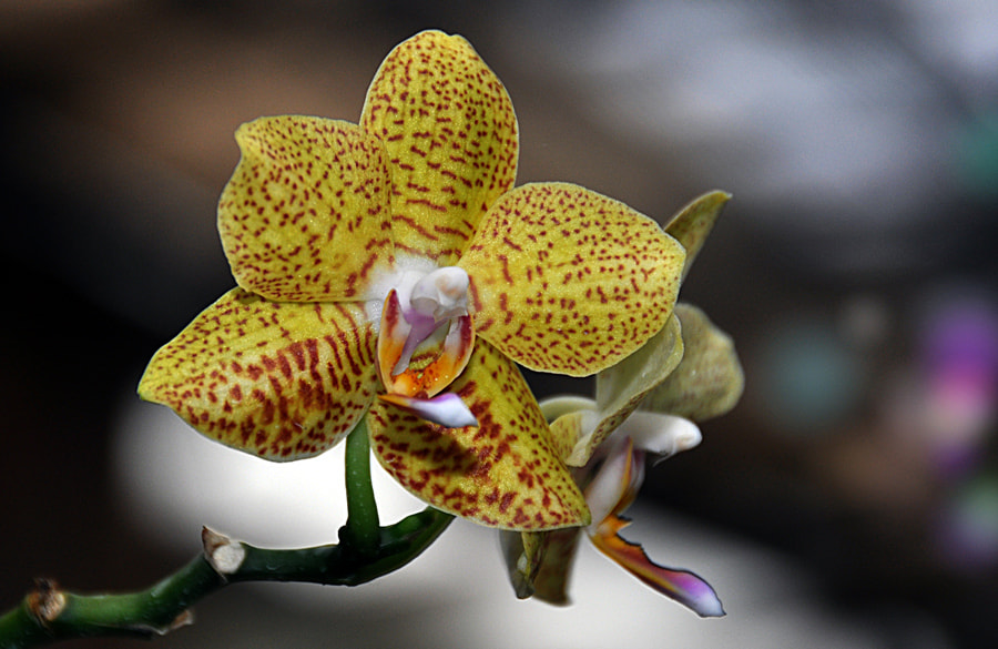 Photograph Orchid - 4 by Khoo Boo Chuan on 500px