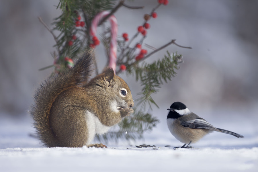 Merry Christmas to all from Red and Berry by Andre Villeneuve on 500px