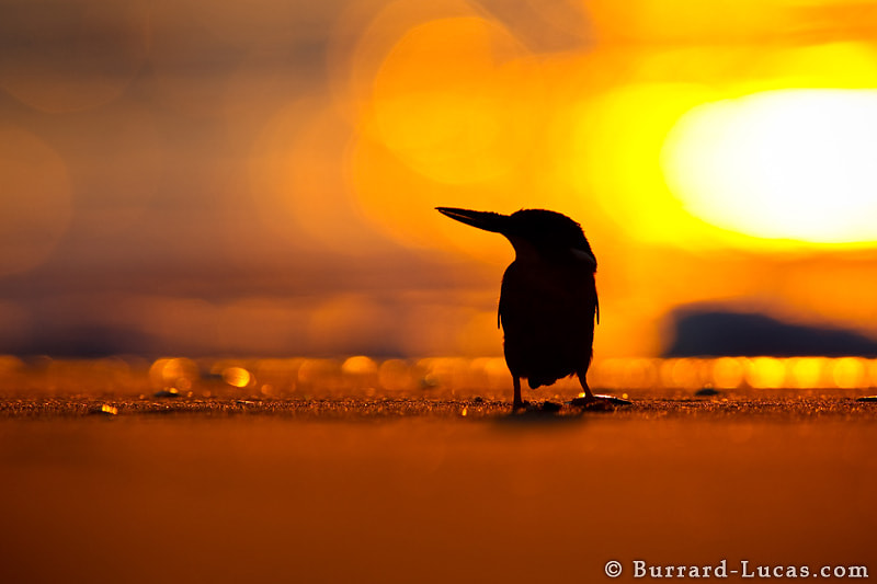 """A Madagascar Malachite Kingfisher on the beach at sunset. This species is closely related to the Malachite Kingfisher of mainland Africa, but it is less dependent on water. This particular individual was catching crabs on the beach!  - More <a href=""""http://www.burrard-lucas.com/madagascar/"""">Madagascar photos</a>"""