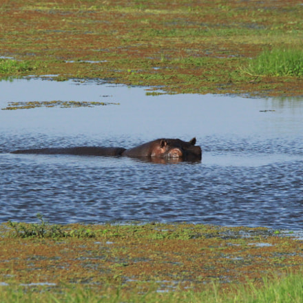 Hippo peaking out of, Canon EOS 650D, Canon EF 28-300mm f/3.5-5.6L IS