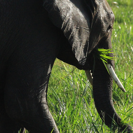 Elephant munching on grass, Canon EOS 650D, Canon EF 28-300mm f/3.5-5.6L IS