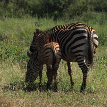 Zebra mother and foal, Canon EOS 650D, Canon EF 28-300mm f/3.5-5.6L IS