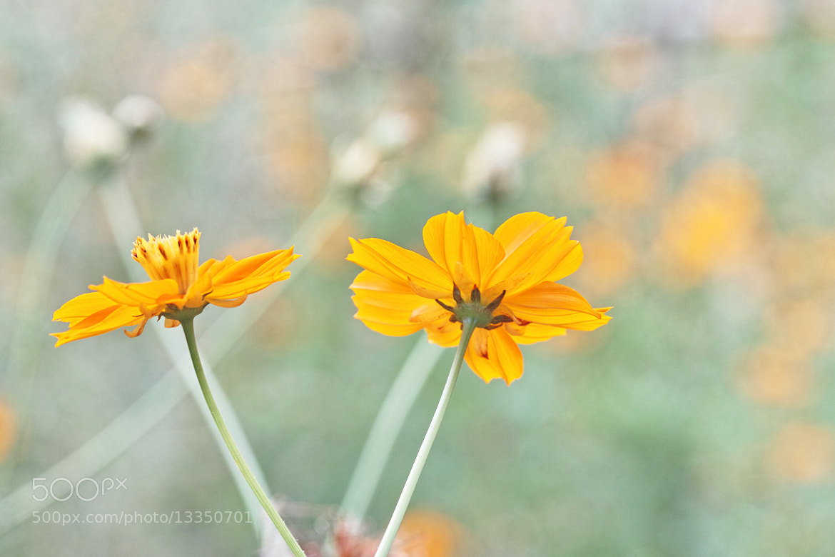 Photograph Cosmos sulphureus Cav by marbee .info on 500px