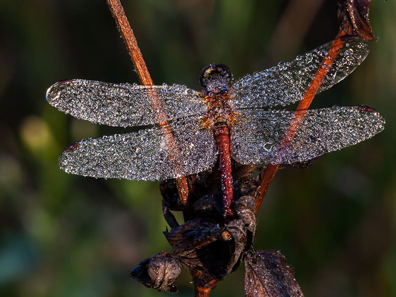 Photograph ruddy darter by dave blackwell on 500px
