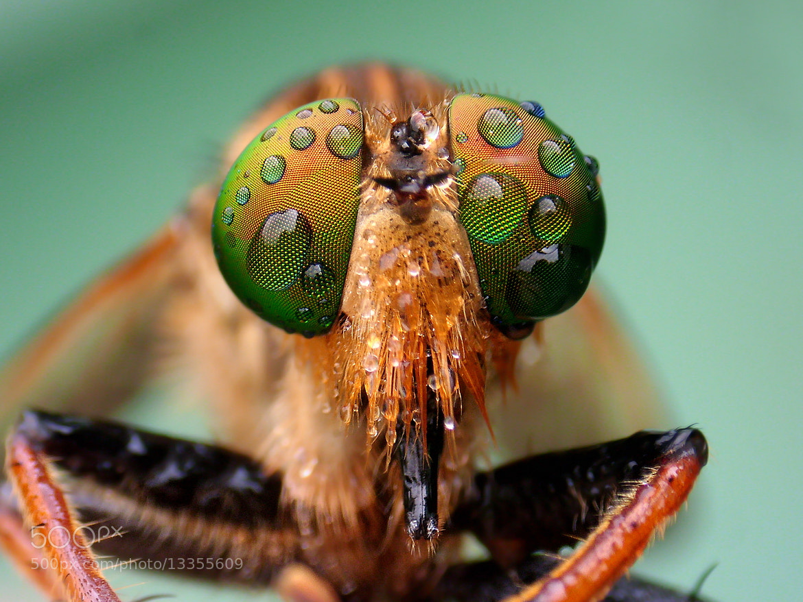Photograph Wet Robberfly by Iwan Ramawan on 500px