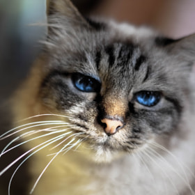 Blue Eyed Cat by Richard Cook
