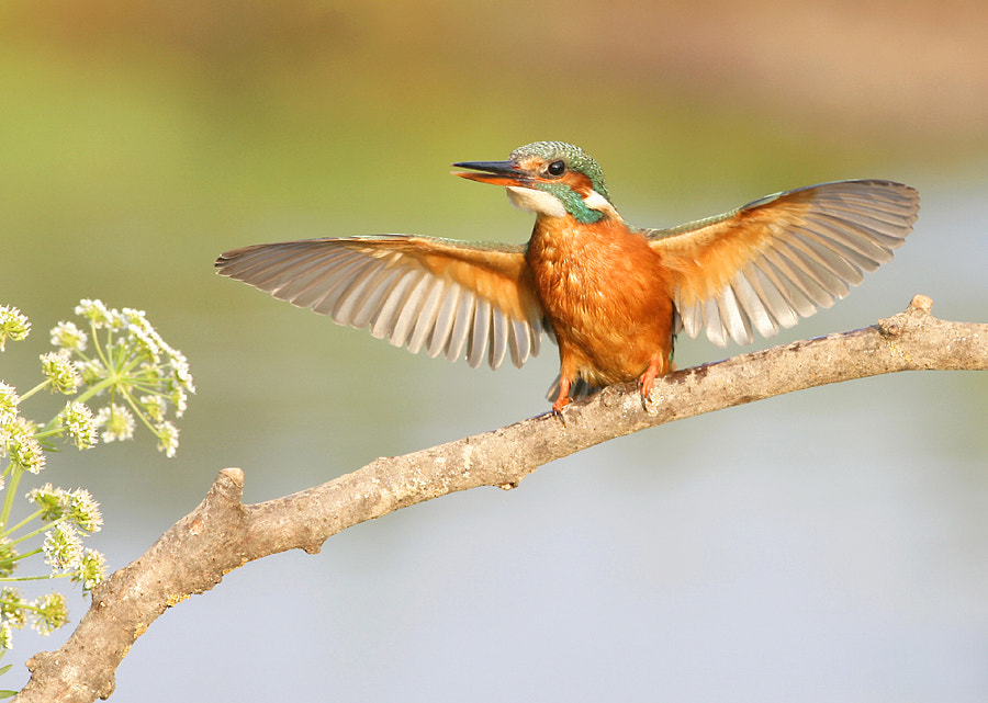 Female Kingfisher driving off second Kingfisher from it's favourite hunting spot.
