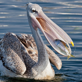 Pink-backed Pelican (Pelecanus rufecens) by Ali Alqudsi (Alqudsi)) on 500px.com