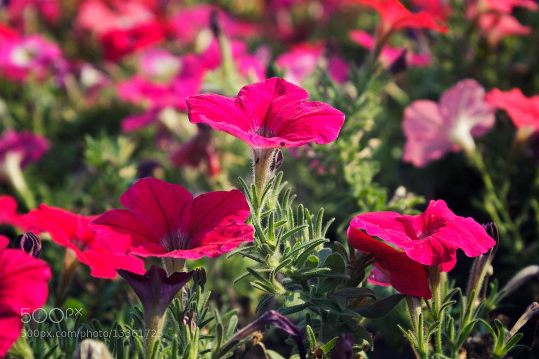 Photograph Petunias by Szabó István on 500px