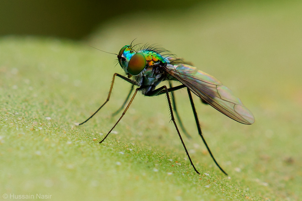 Photograph long legged fly by Hussain Nasir on 500px