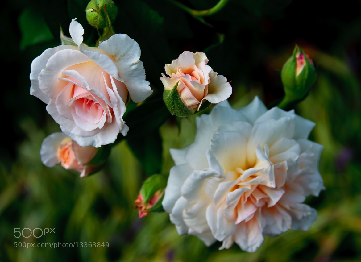 Photograph Stages of a Rose by Jerry Bain on 500px