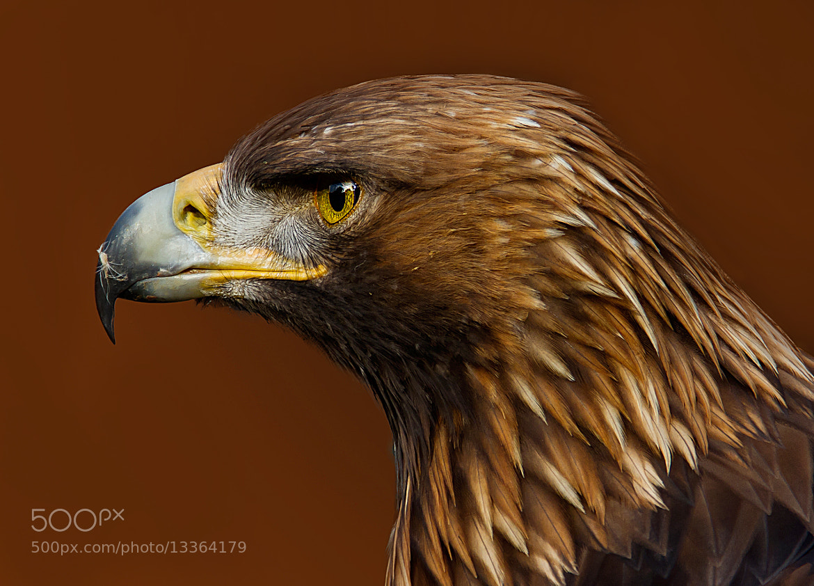 Photograph eagle II by pictures of memory on 500px