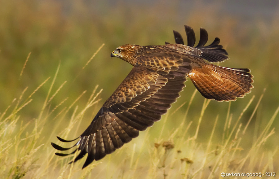 Photograph Long-legged buzzard - Buteo rufinus by Serkan Akçadağ on 500px