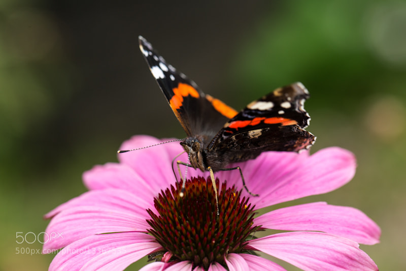 Photograph Red Admiral by Penny Myles on 500px