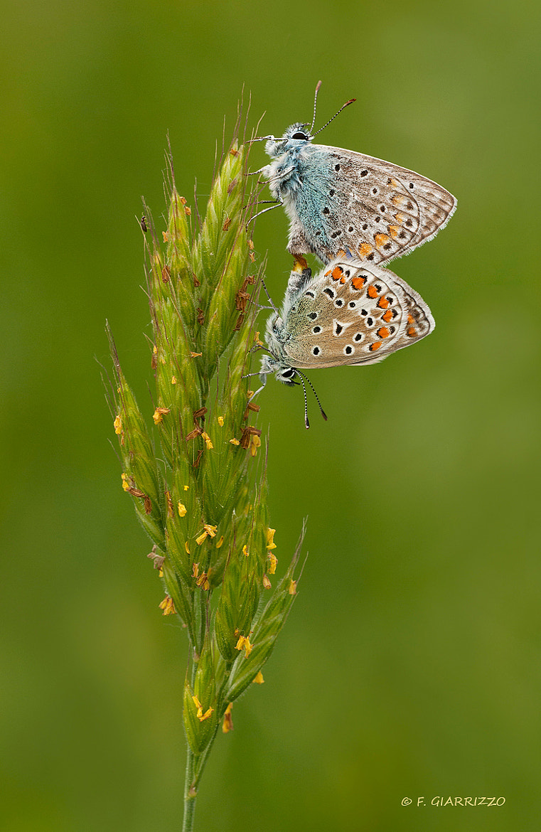 Photograph Mating butterflies by Fabio Giarrizzo on 500px