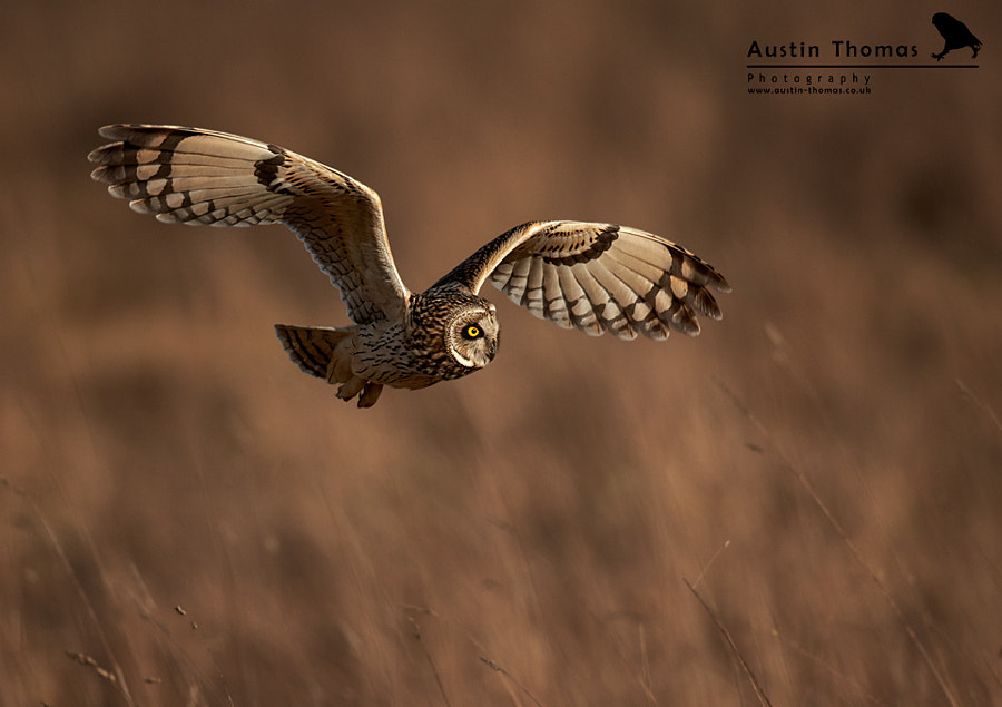Short-eared Owl hunting over meadow...