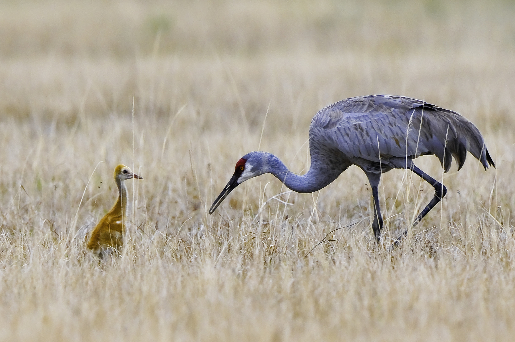 Photograph sandhill crane by Michael Leggero on 500px