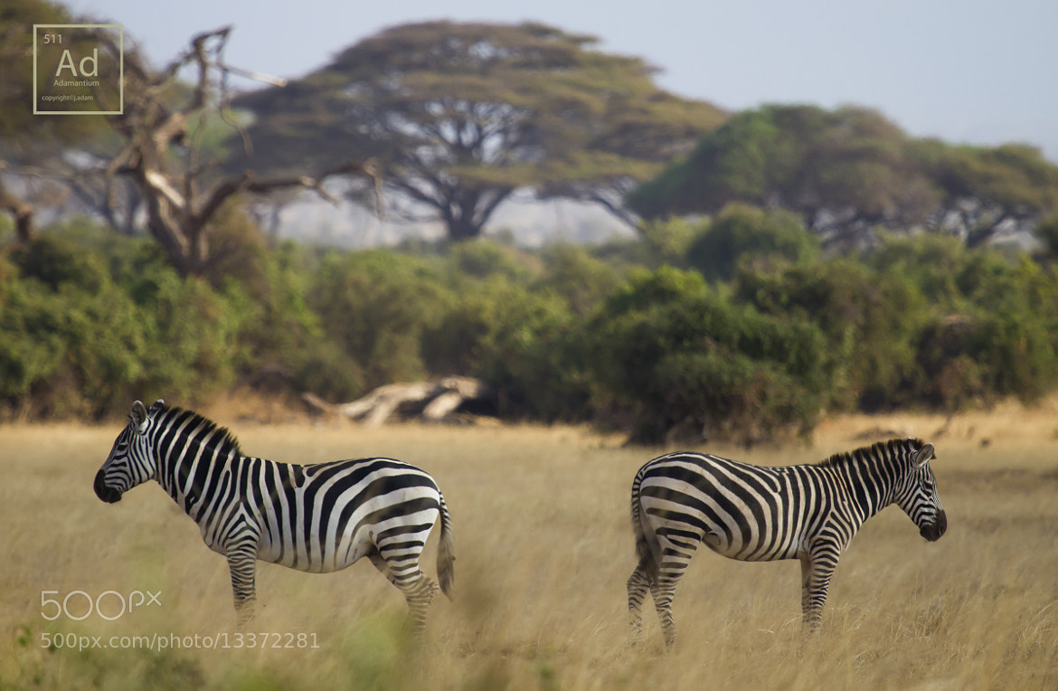 Photograph Zebra Fallout by AJ Adam on 500px