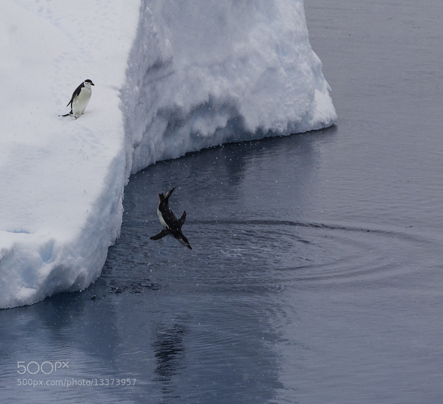 Photograph chinstrap penguins by Michael Leggero on 500px