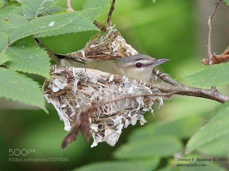 Red eyed vireo nest - photo#21