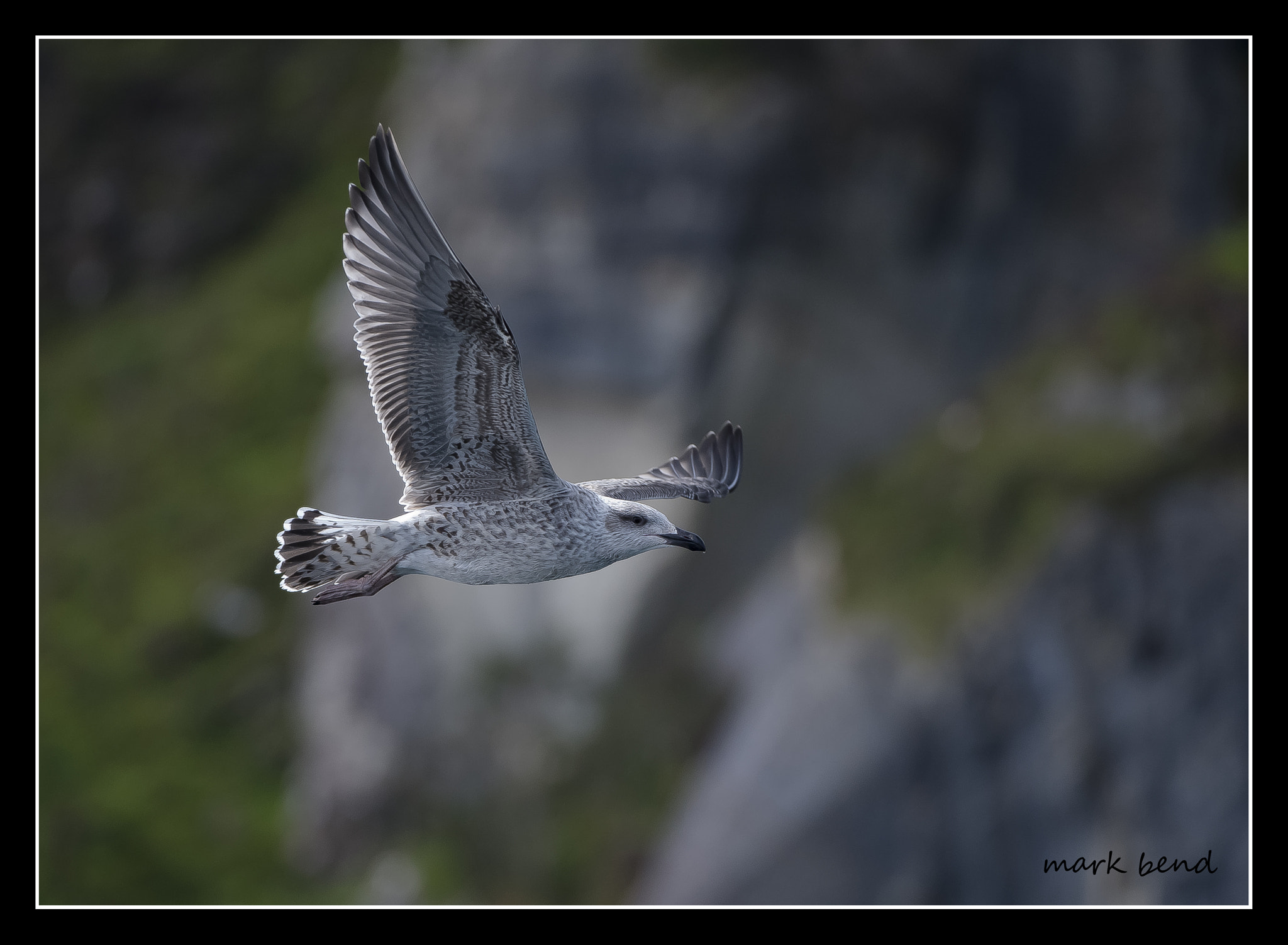 Photograph JUV/GULL by Mark Bend on 500px