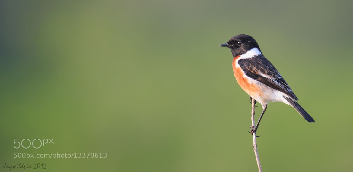 Photograph Stonechat by Jay van Rensburg on 500px