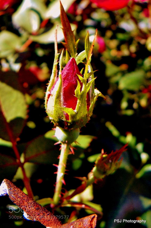 Photograph Rosebud by Pam Jones on 500px