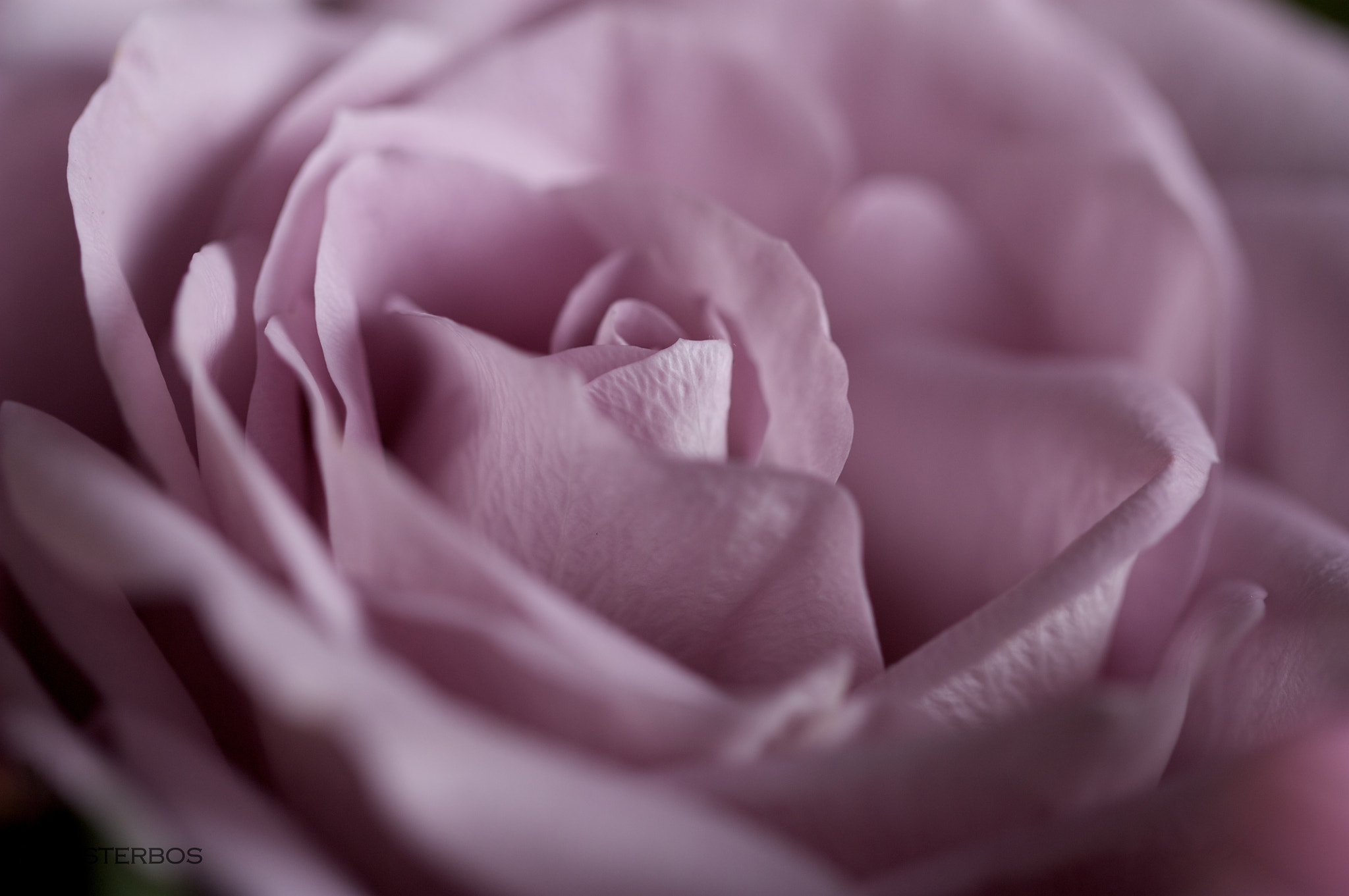 Photograph Rose by Familie Pinksterbos on 500px