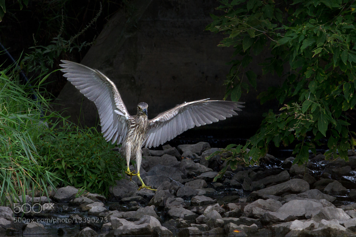 Photograph 'Night Heron'...Superheron? or Superhero? by Jim Cumming on 500px