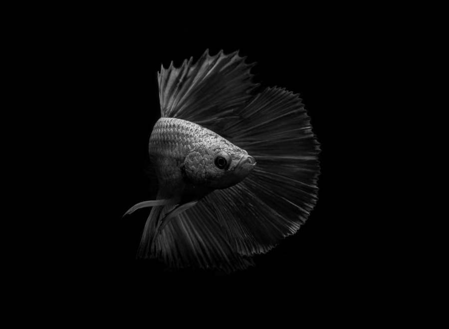 Turn by Andi A Halil on 500px.com | Siamese fighting fish