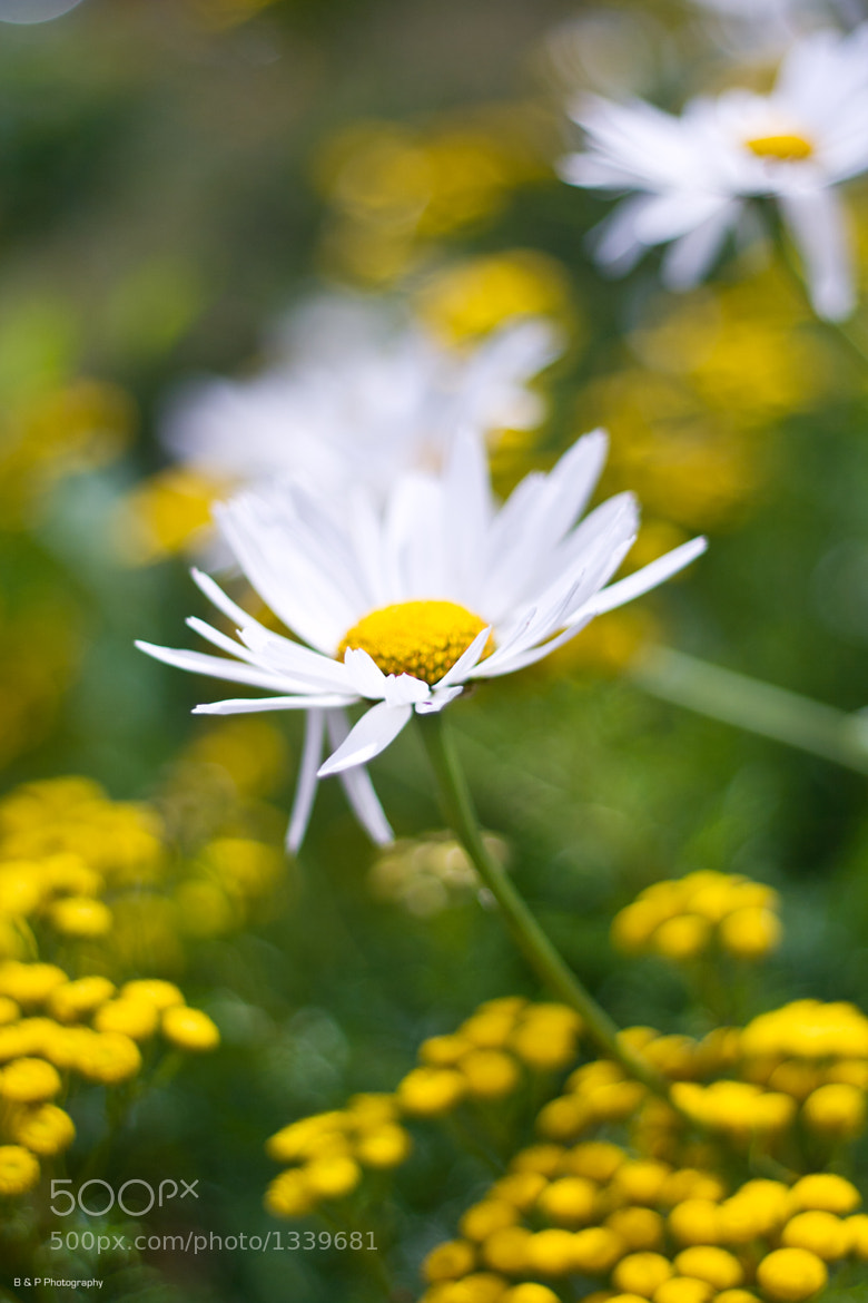 Photograph The Daisy by Adrian Ainsworth on 500px