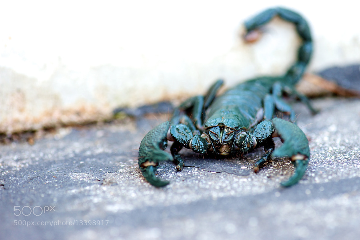 Photograph African Emperor Scorpion! by Danny Perez on 500px