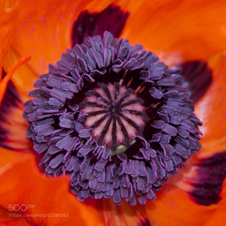 Photograph Poppy  by Karthik Gellia on 500px