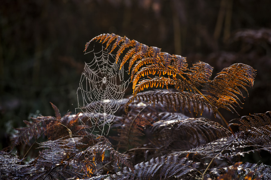 Cobweb on bracken