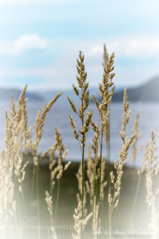 Photograph wheat by Alain Villeneuve on 500px