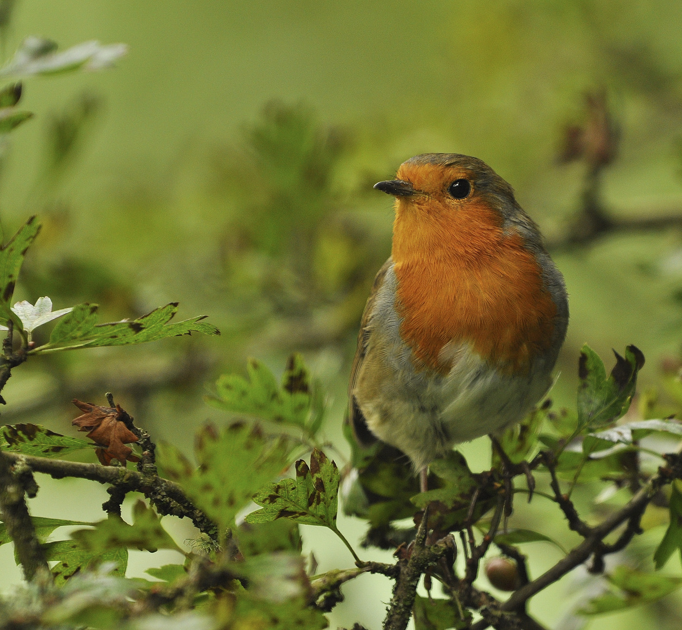 Photograph Autumn Robin  by Keith Bannister on 500px