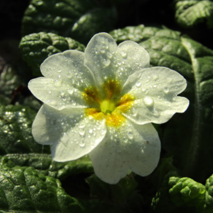 Primrose, Canon POWERSHOT SX412 IS