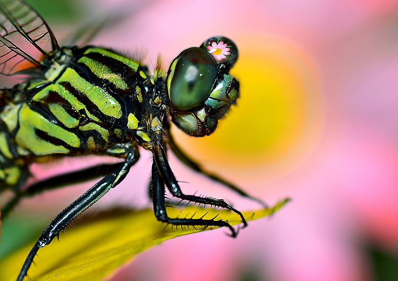 Photograph DRAGONFLY..II by Bu Balus on 500px