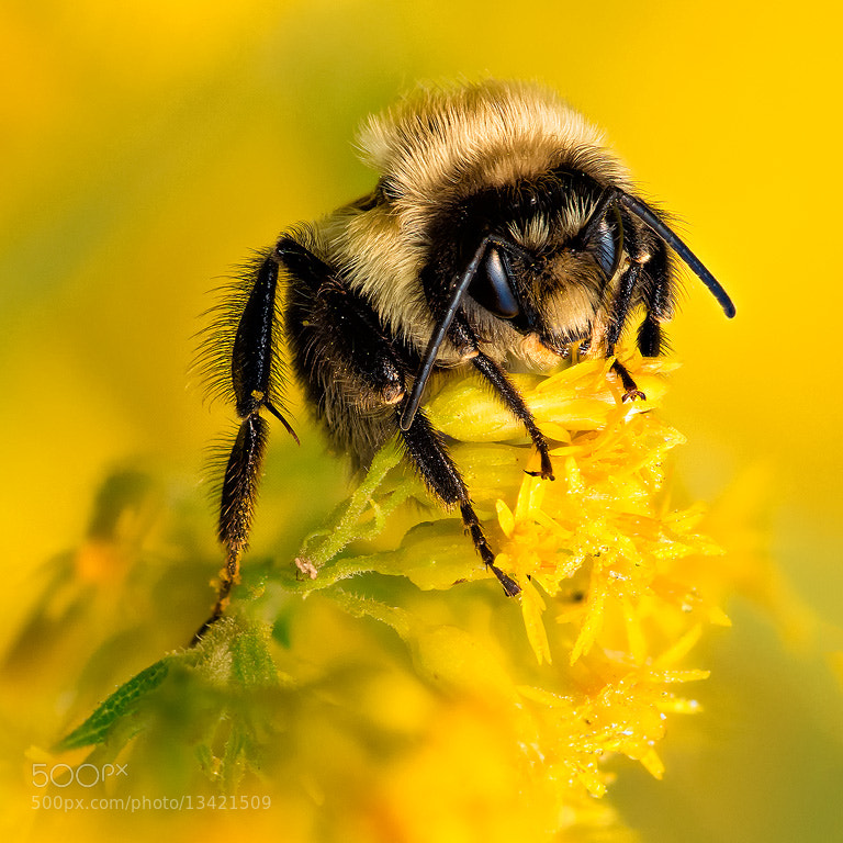 Photograph Bumblebee by Steve Perry on 500px