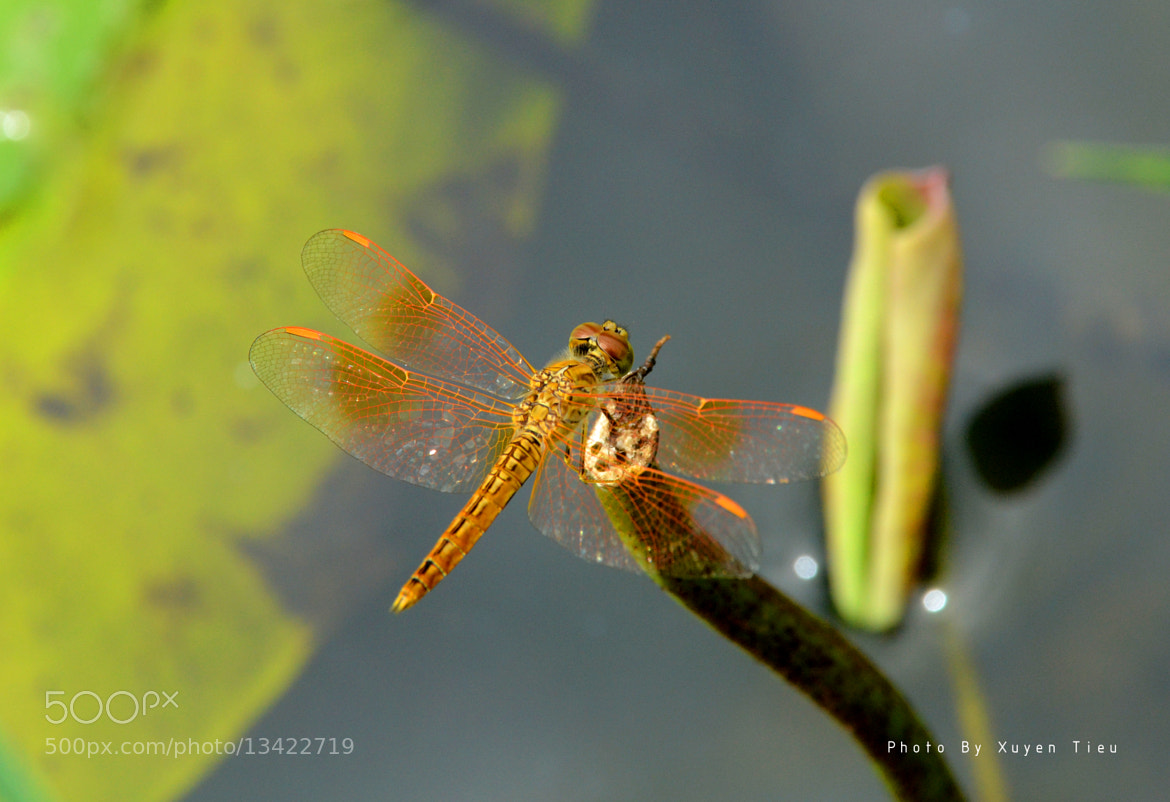 Photograph dragonfly on Lotus... by xuyen tieu on 500px