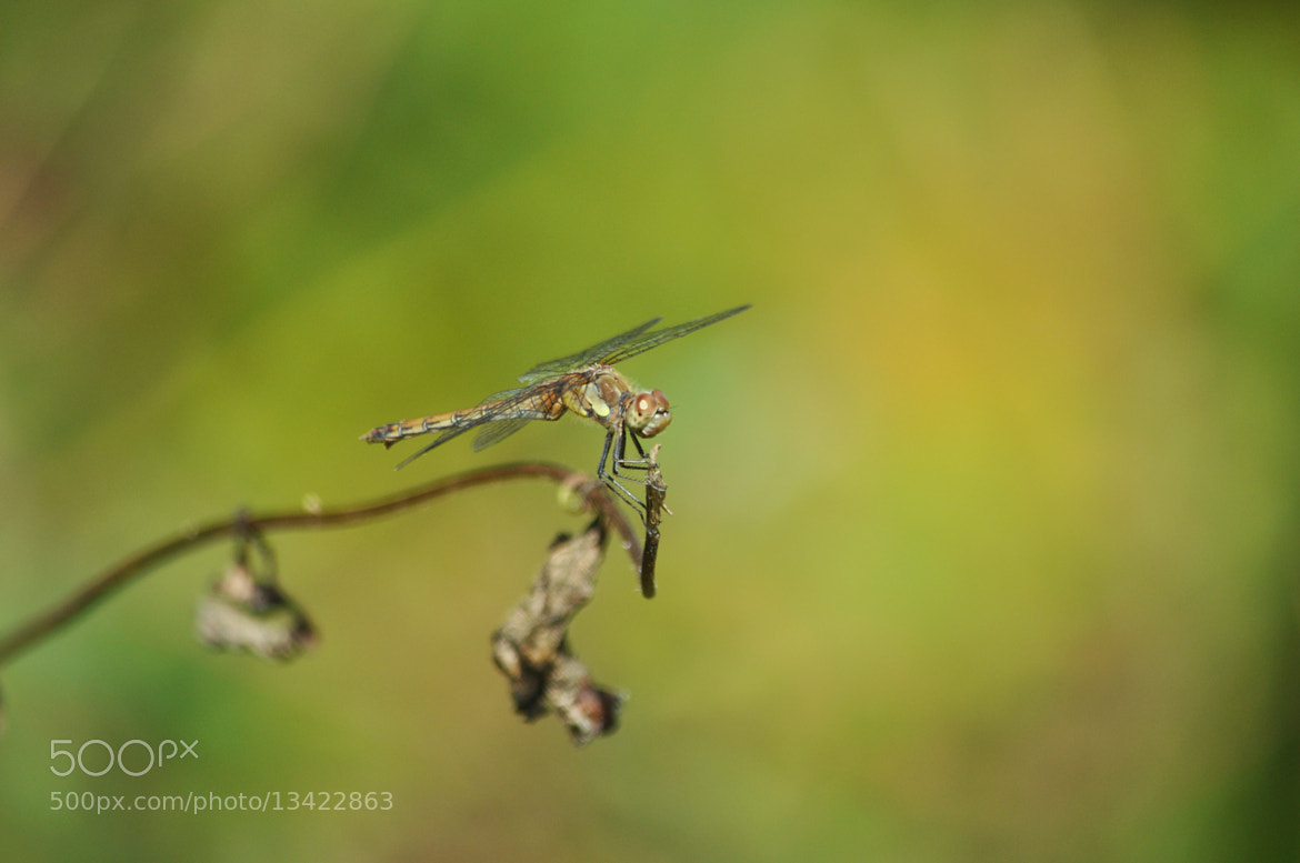Photograph Dragonfly by Ciaran Kealy on 500px