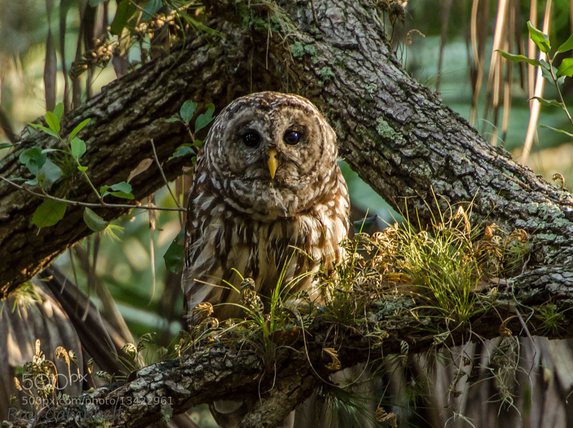 Photograph Barred Owl by Ray Campbell on 500px