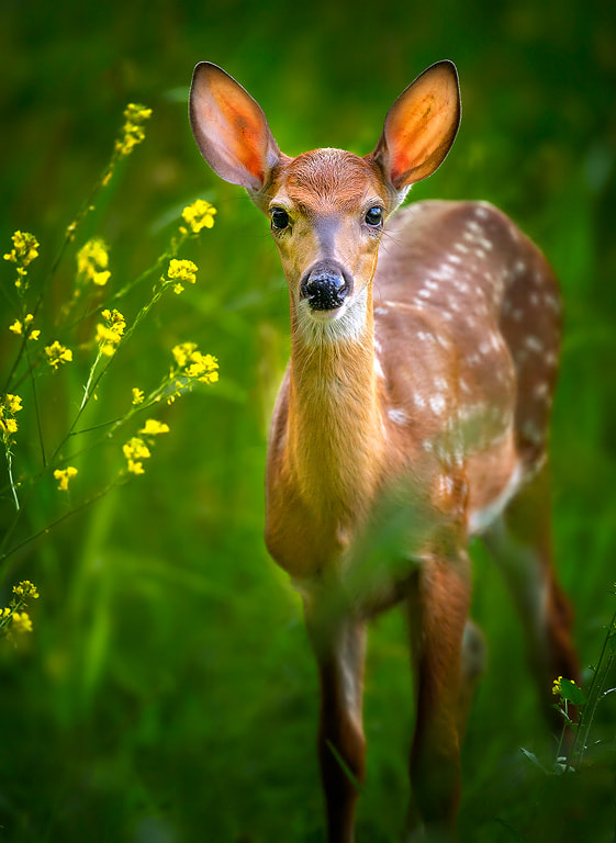 Photograph Fawn And Flowers by Steve Perry on 500px