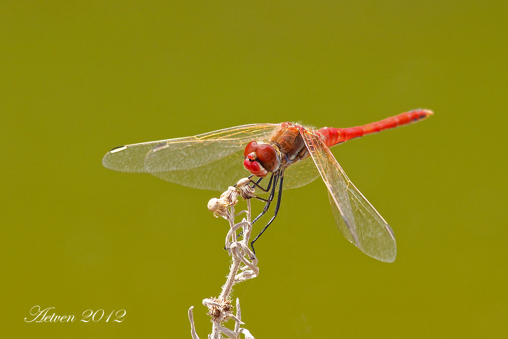 Photograph Red-veined Darter  by Antonio T.V. on 500px