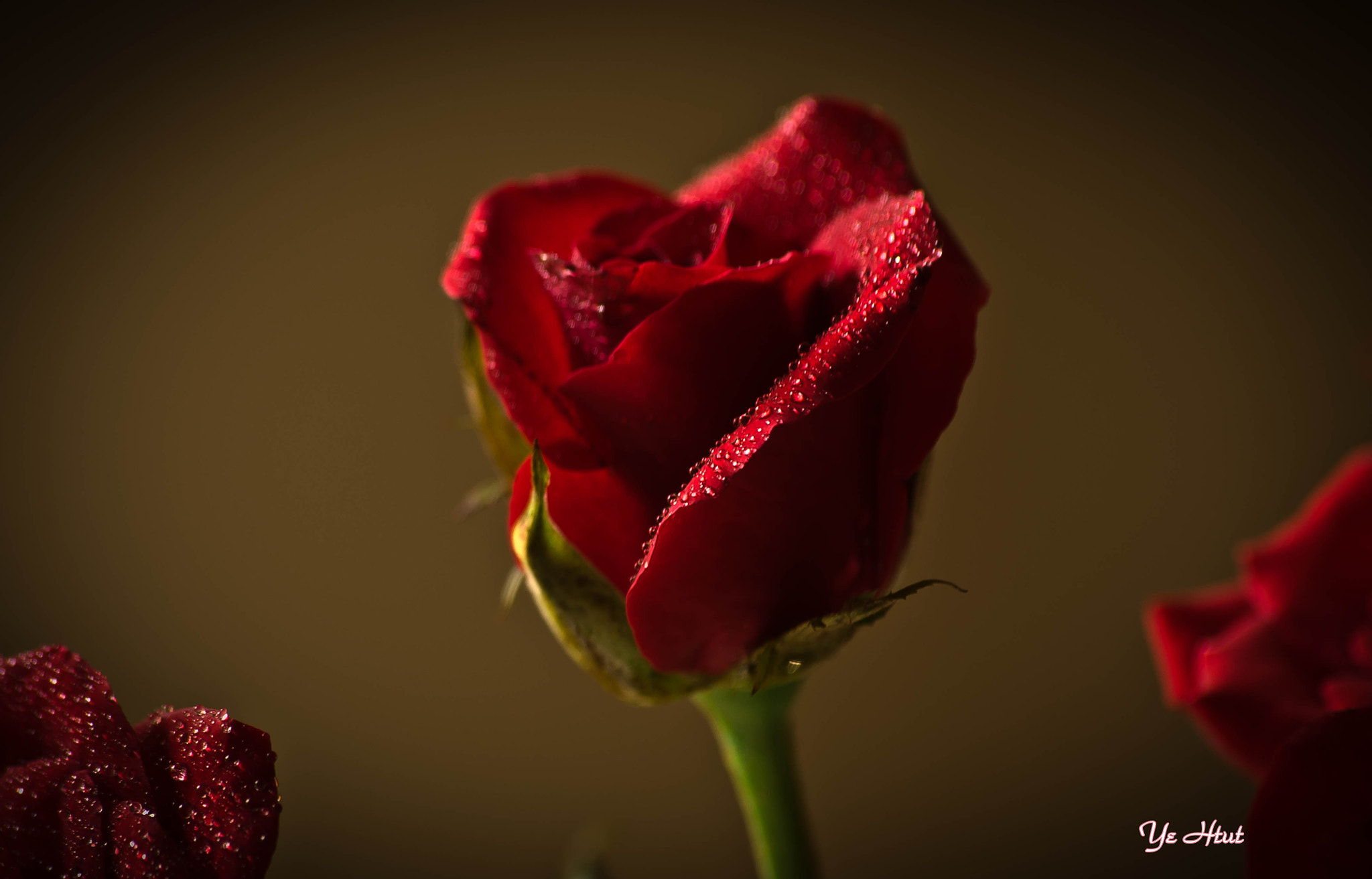 Photograph ROSE  by Ye Htut on 500px