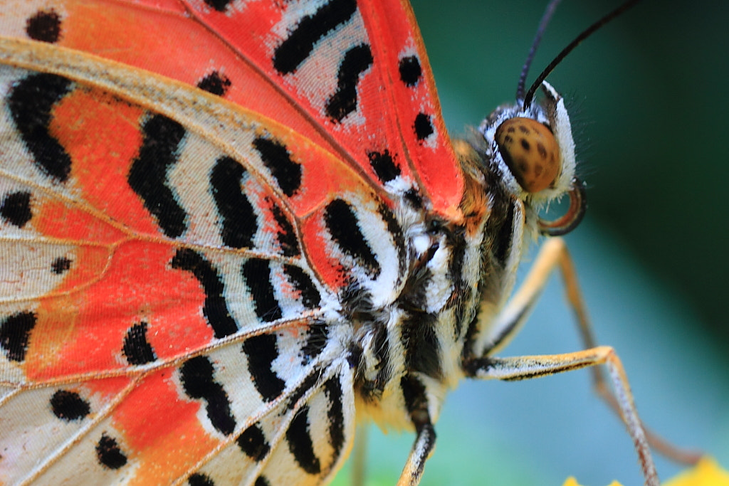 Photograph Butterfly by Saadi Kawkji on 500px